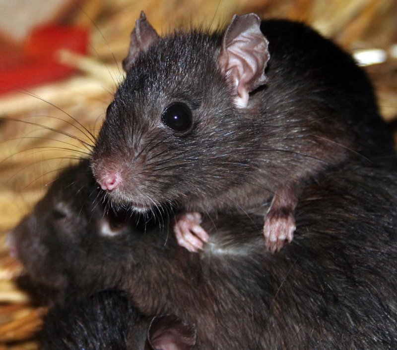 Rat. Photo: Chris Barber, Wikimedia Commons