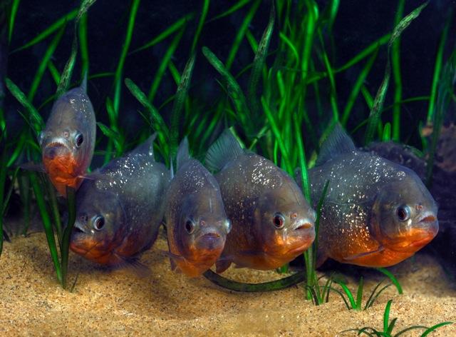 Red bellied piranha fish (Pygocentrus nattereri)