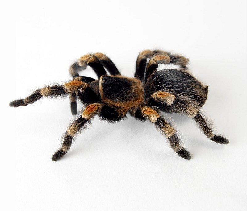 Red kneed tarantula (Brachypelma smithi) Photo: Animal Ark