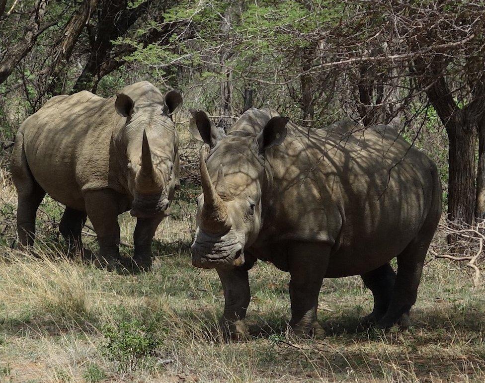 Rhino, Botswana. Photo: David Manning, Animal Ark