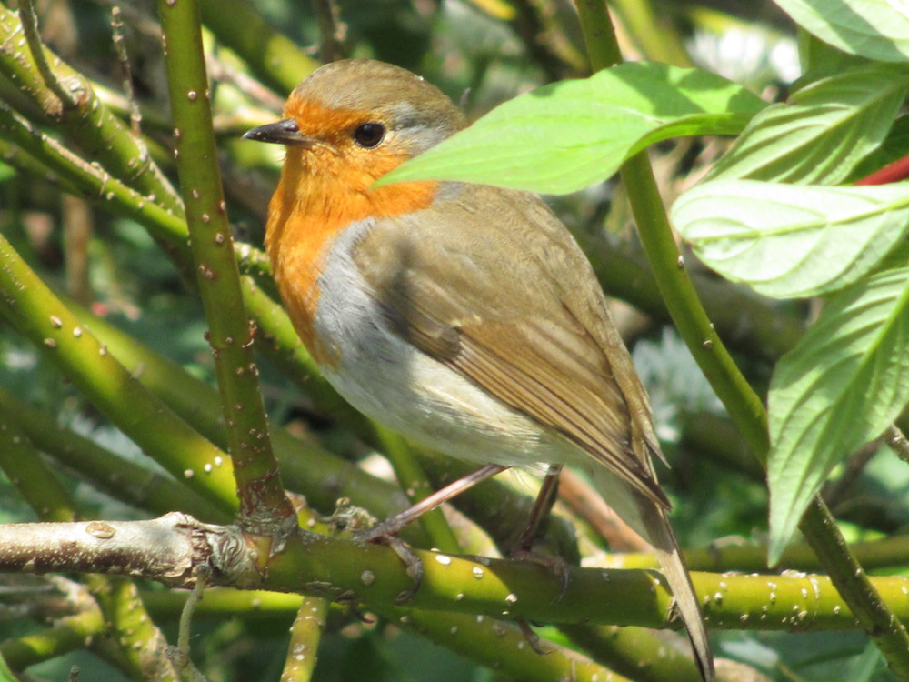Robin (Erithacus rubecula). Photo Antiquary, Wikicommons