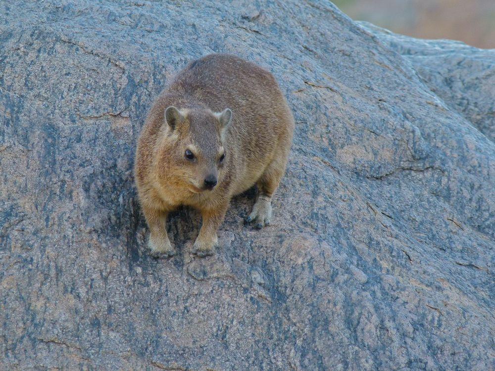 Rock hyrax (Procavia capensis). Photo: Bernard Dupont, Wikimedia Commons
