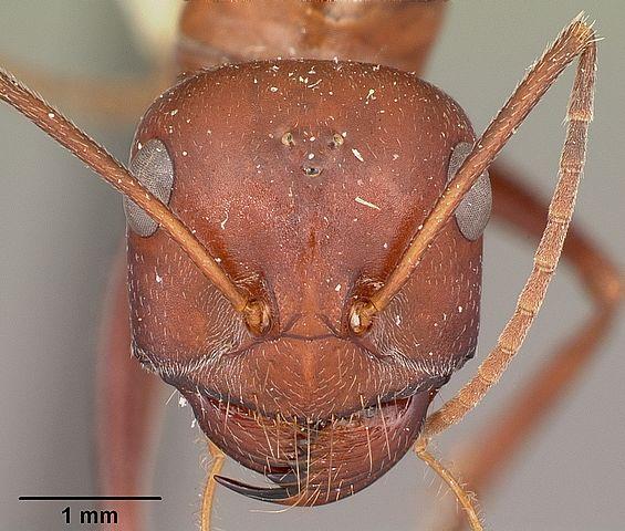 Saharan desert ant (Cataglyphis bicolor) head. Photo © April Nobile, Antweb.org.cc