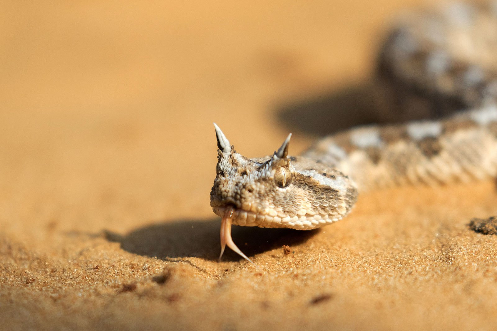 Saharan Horned Viper (Cerastes cerastes). Photo: Oronbb, Commons Wikimedia