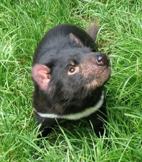 Tasmanian devil (Sarcophilus harrisii) - Tasmanian Devil Conservation Park. Taranna. Photo Prince Roy Wikicommons