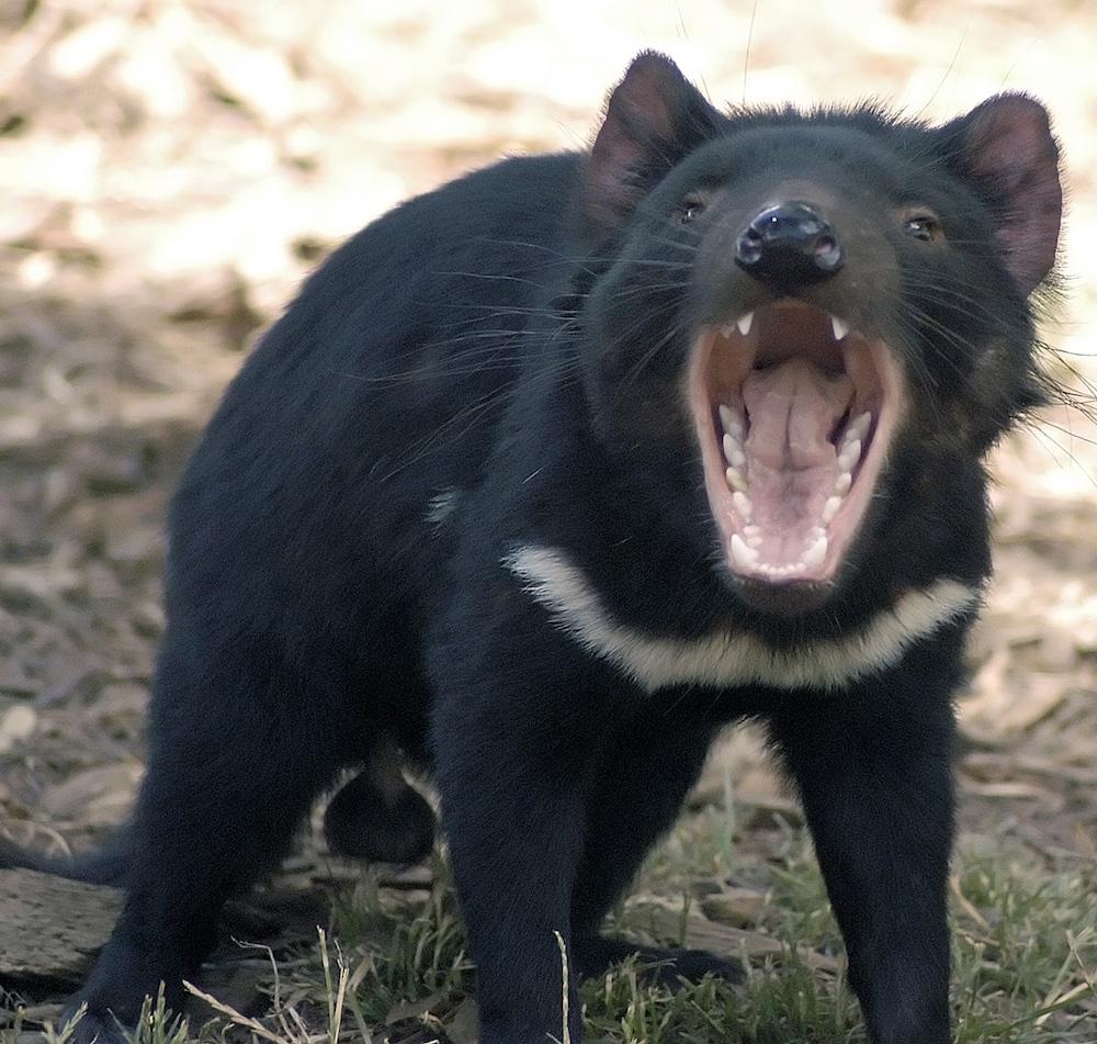 Tasmanian devil (Sarcophilus harrisii) Tasmanian Devil Conservation Park - Taranna, Tasmania. Photo Wayne McLean, Wikicommons