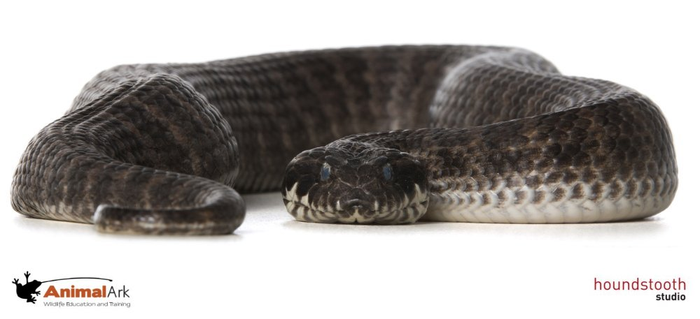 Southern death adder (Acanthophis antarcticus) low profile. Photo © Alex Cearns Houndstooth Studio / Animal Ark