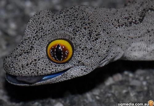 Spiny tailed gecko eye. acrod.com.au / ugmedia.com.au / flickr.com