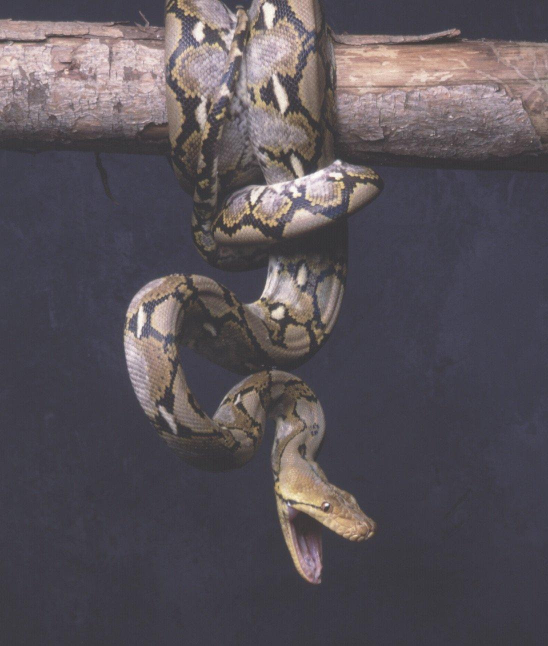 Striking snake. Photo Animal Ark