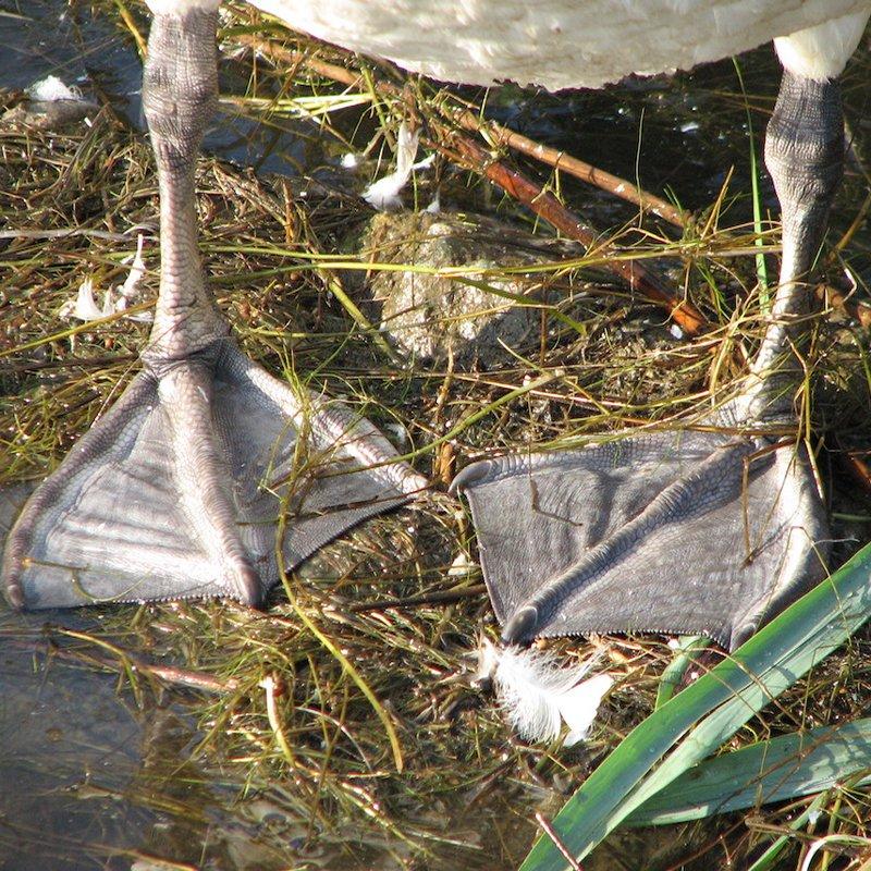 Swan feet. Photo HTO wikicommons