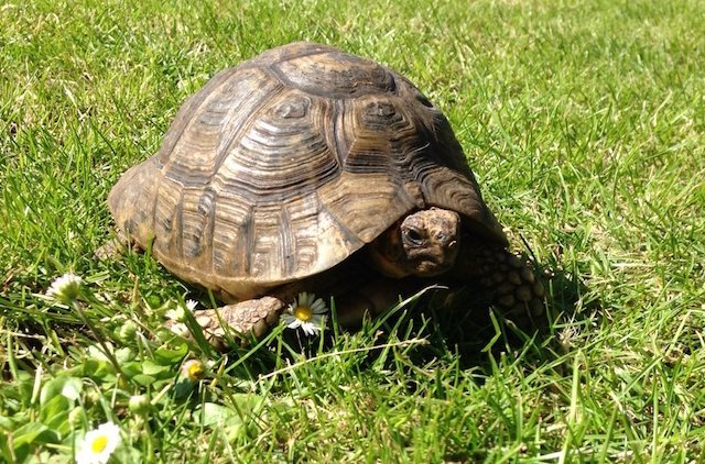 Tammy the tortoise. Photo David Manning, Animal Ark