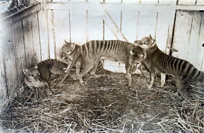 Tasmanian Tigers / Thylacines (Thylacinus cynocephalus). Beaumaris Zoo, Hobart 1910. Photo wikicommons