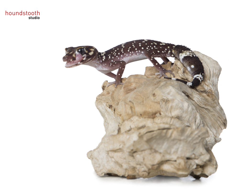 Thick-tailed or Barking gecko (Underwoodisaurus milii) licking eye. Photo © Alex Cearns, Houndstooth Studios / Animal Ark