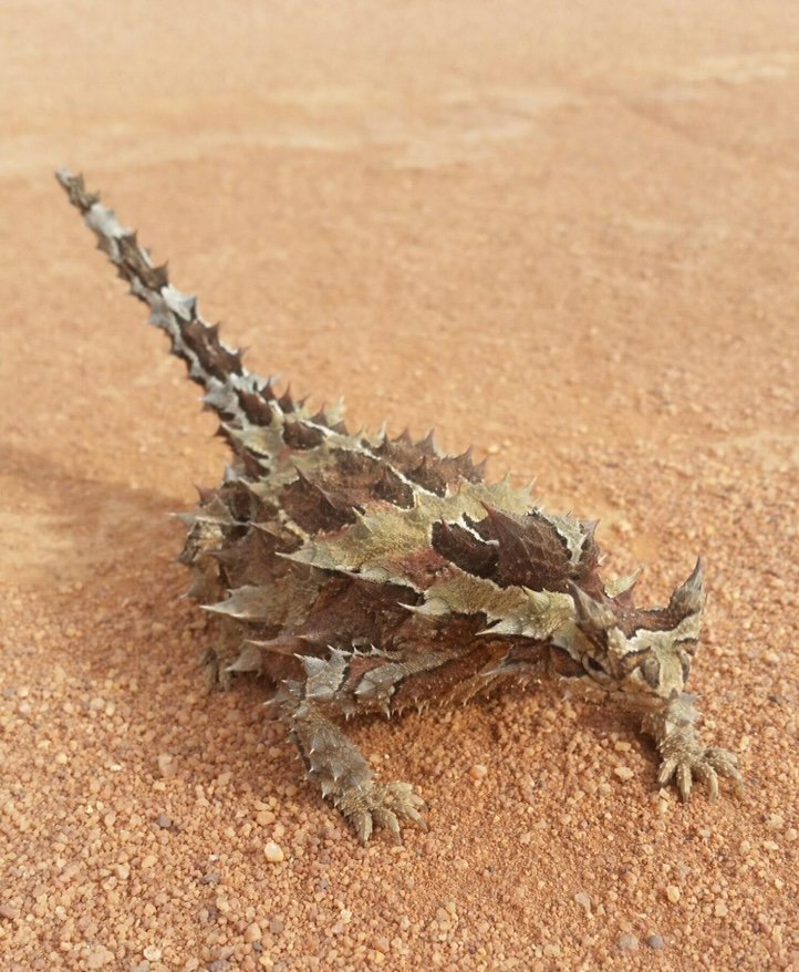 Thorny devil (Moloch horridus) Lorna Glen. Photo Zigourney Nielsen