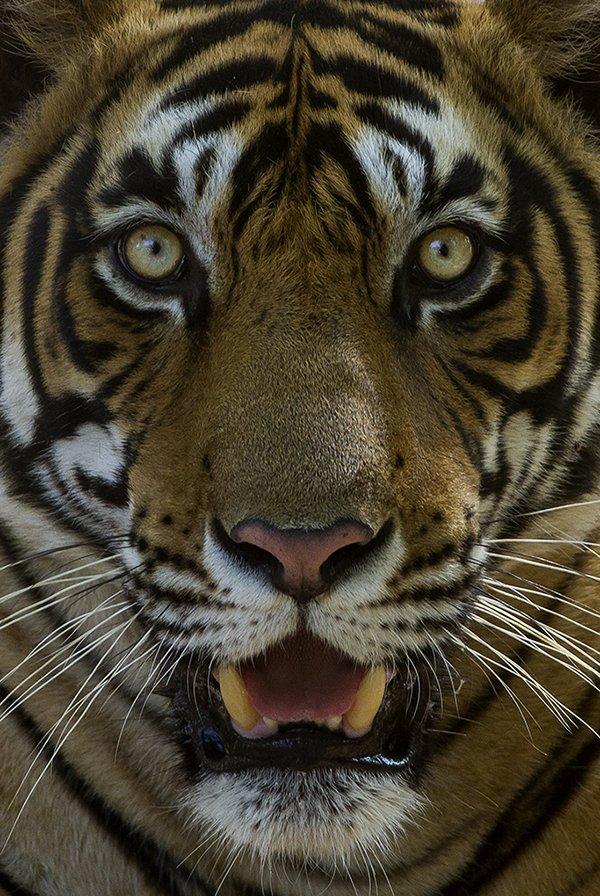 Tiger face - Ranthambhore Tiger Reserve, Rajasthan, India. Photo Dibyendu Ash, wikicommons