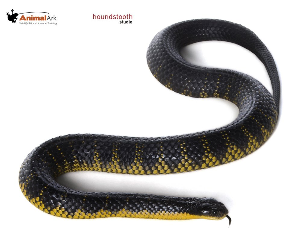 Tiger snake (Notechis scutatus). Photo © Alex Cearns Houndstooth Studio / Animal Ark