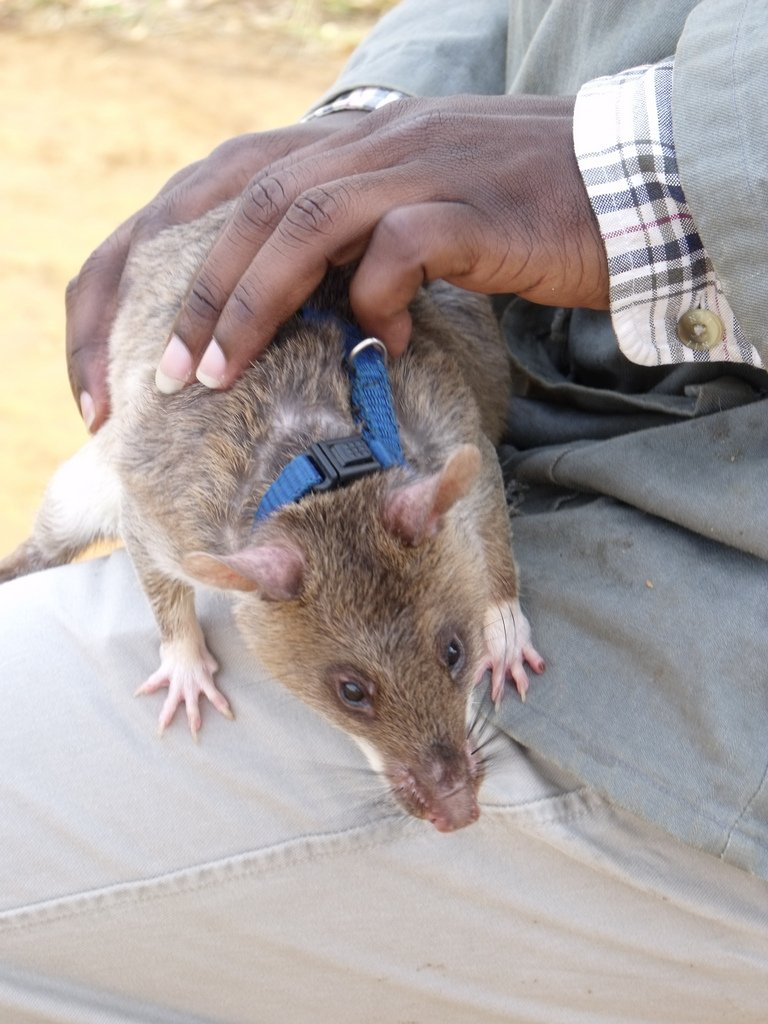 Trained rat APOPO HeroRat Rosie having her harness put on ready to start work. Photo © Flickr rattyfied