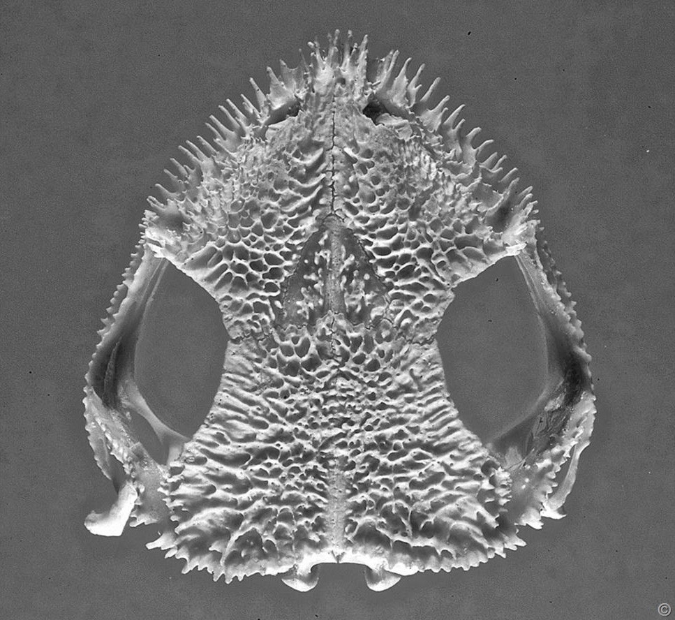 Venomous frog skull showing protruding spines. Photo Carlos Jared, Butantan Institute