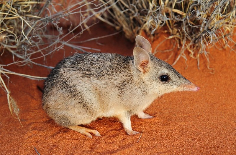 Western barred bandicoot (Perameles bougainville). Photo AWC