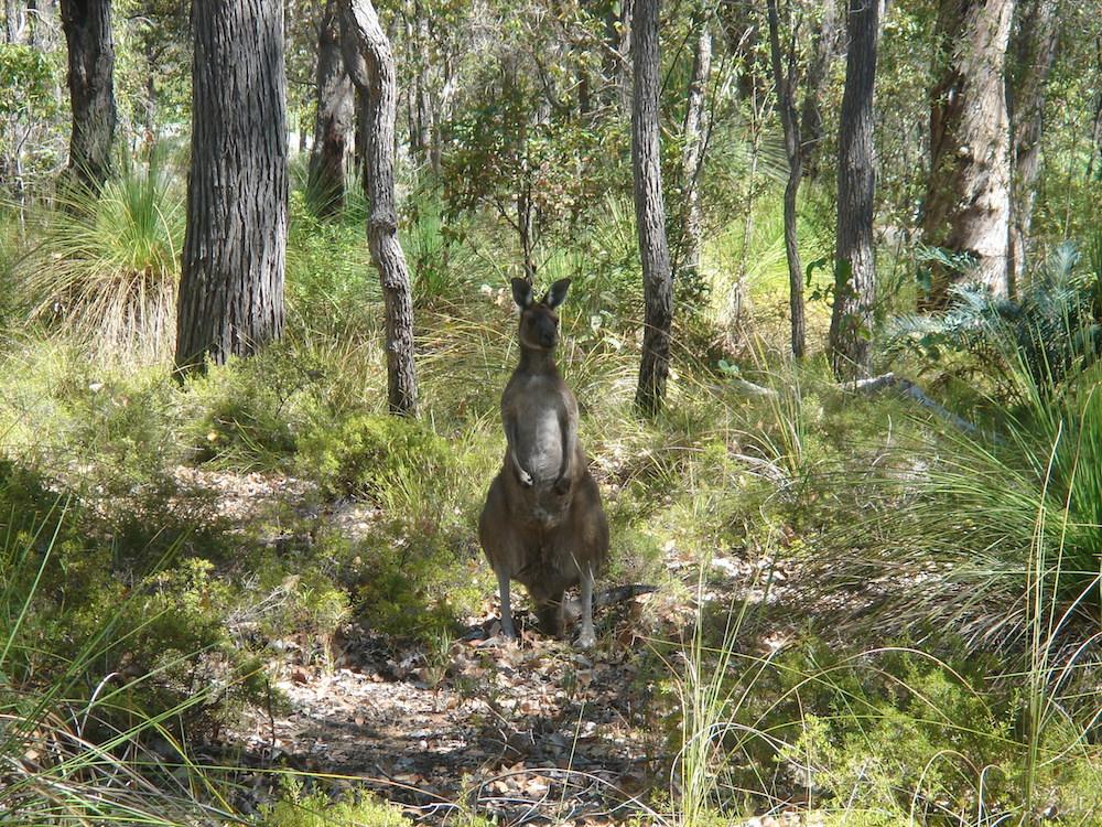 Western Grey kangaroo (Macropus fuliginosus). Photo © Animal Ark, Western Australia