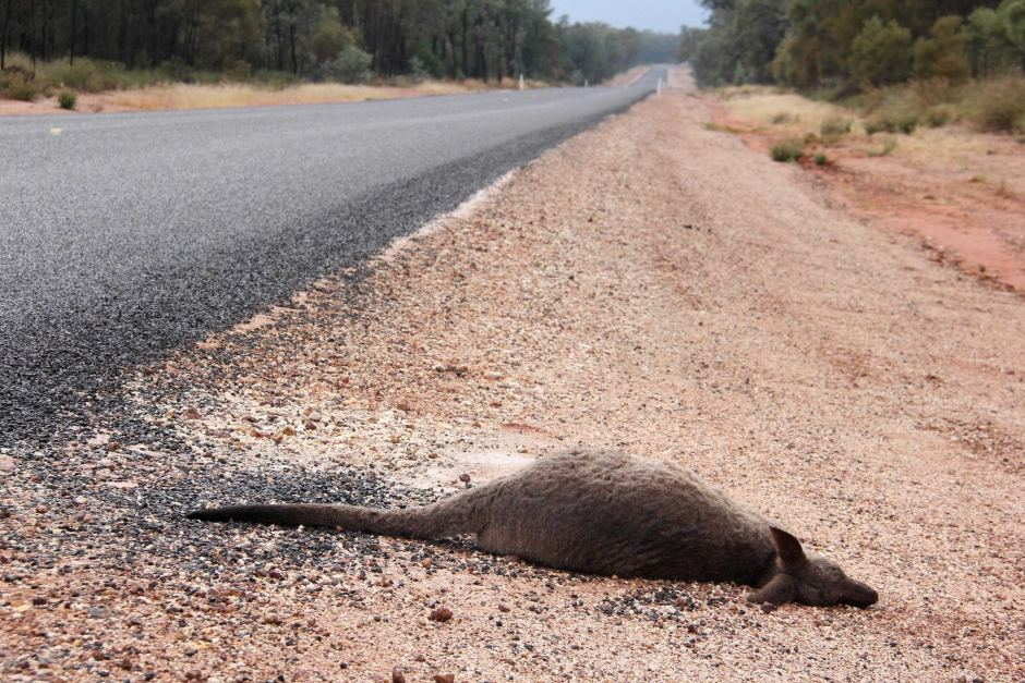 Wildlife accidents - kangaroo roadkill. Photo © ABC news, Giulo Saggin file photo