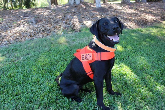 Willow, Biosecurity Queensland labrador. Photo: ABC / Jess Lodge