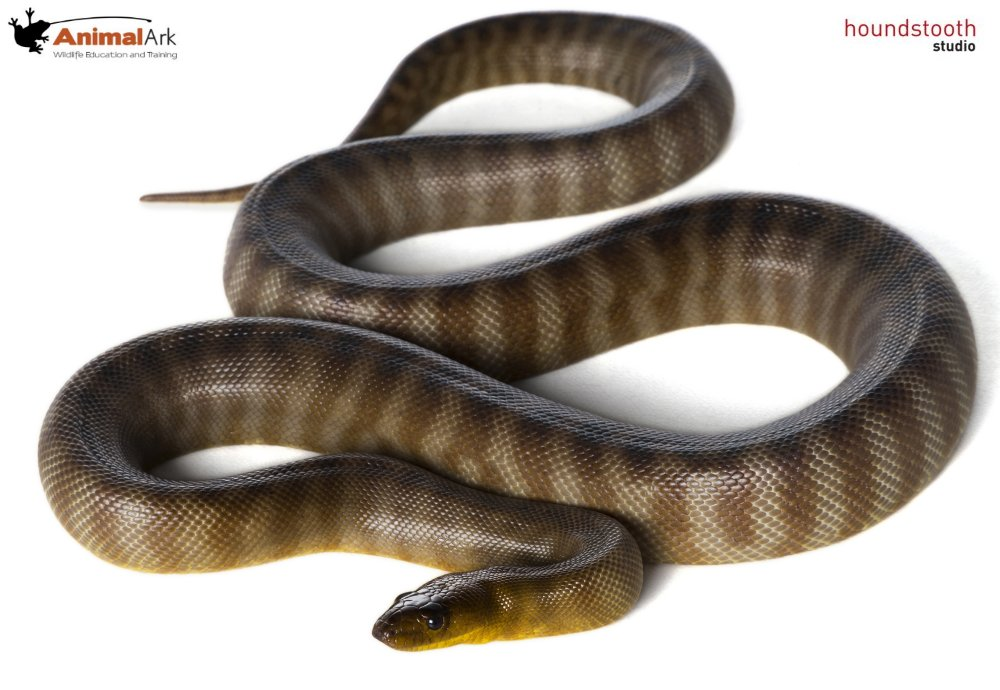 Woma python top shot. Photo © Alex Cearns Houndstooth Studio / Animal Ark