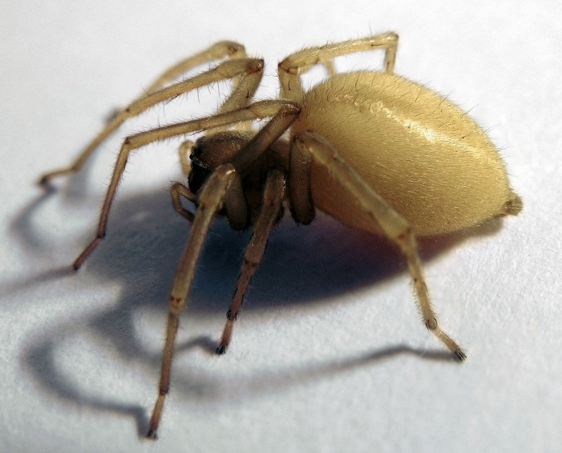 Yellow sac spider (Chiracanthium mildei) Washington. Photo Mad Max Commonswiki