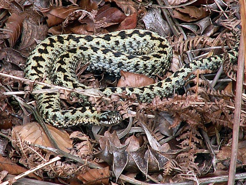 Adder (Vipera berus) male. Photo: Alastair Rae, wikimedia commons