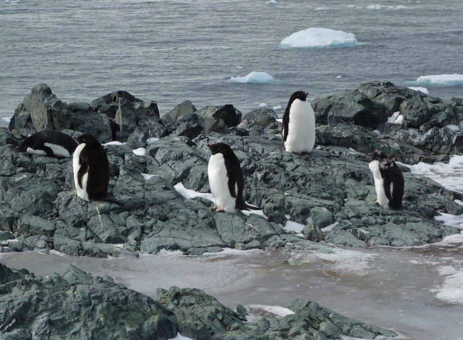Adelie penguins, Antarctica. Photo: Animal Ark