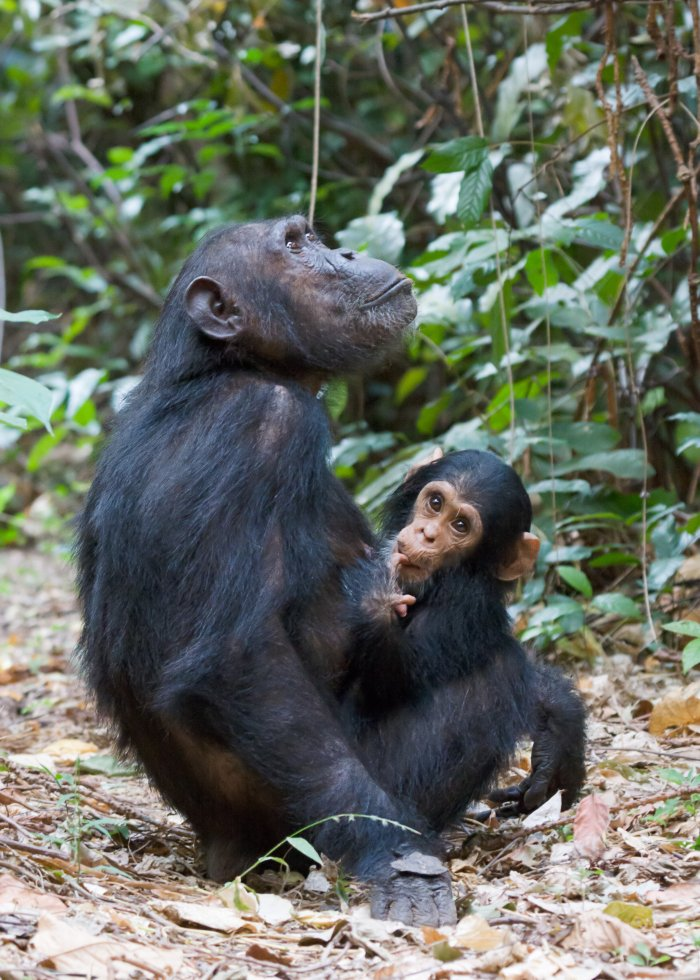Adult common chimpanzee (Pan troglodytes) with young, Gombe Stream National Park. Photo: Ikiwaner, Wikimedia Commons
