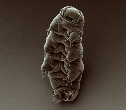 Adult tardigrade. Photo: Goldstein lab tardigrades, Wikimedia Commons