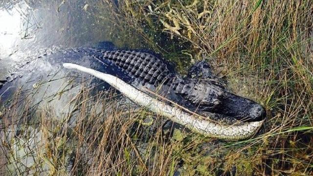 Alligator eating a Burmese python