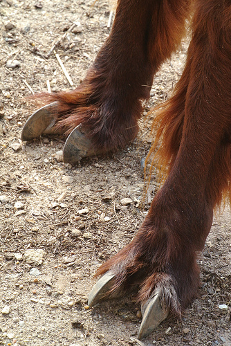 Alpaca feet. Photo Jennifer Zoon Smithsonian's National Zoo, Wikimedia Commons