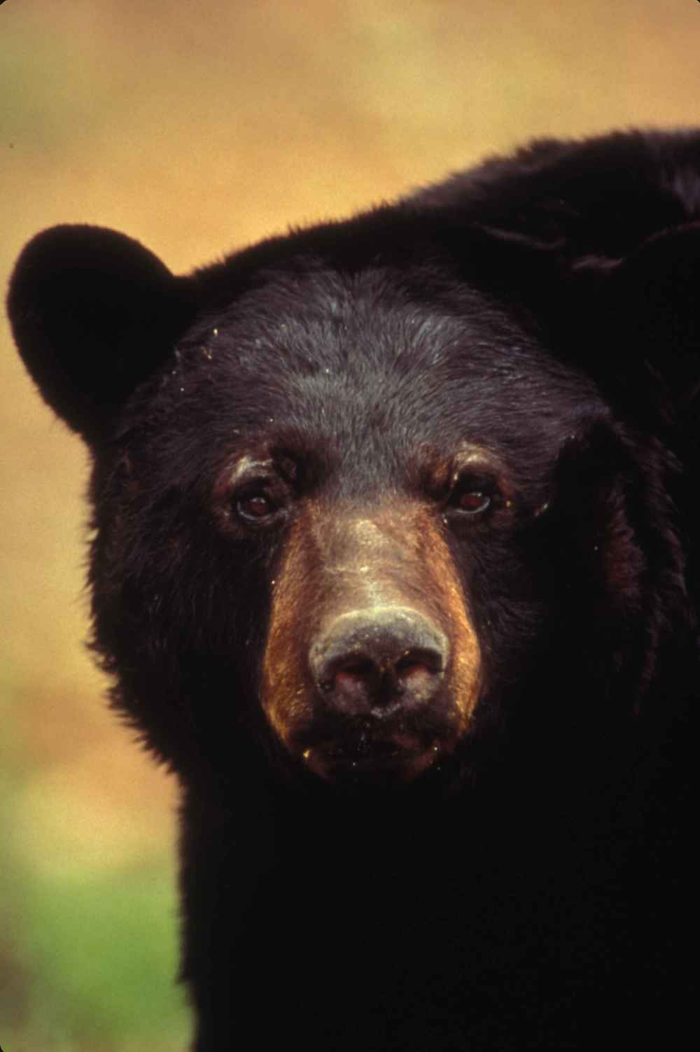 American black bear. Photo: Traylor Waverley, US Fish and Wildlife Services - Commons Wikimedia