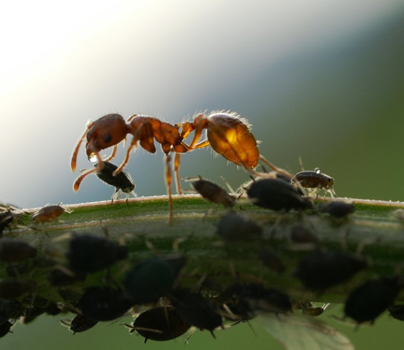 Ant harvesting honeydew from aphids. Photo Bohringer Friedrich, Wikicommons