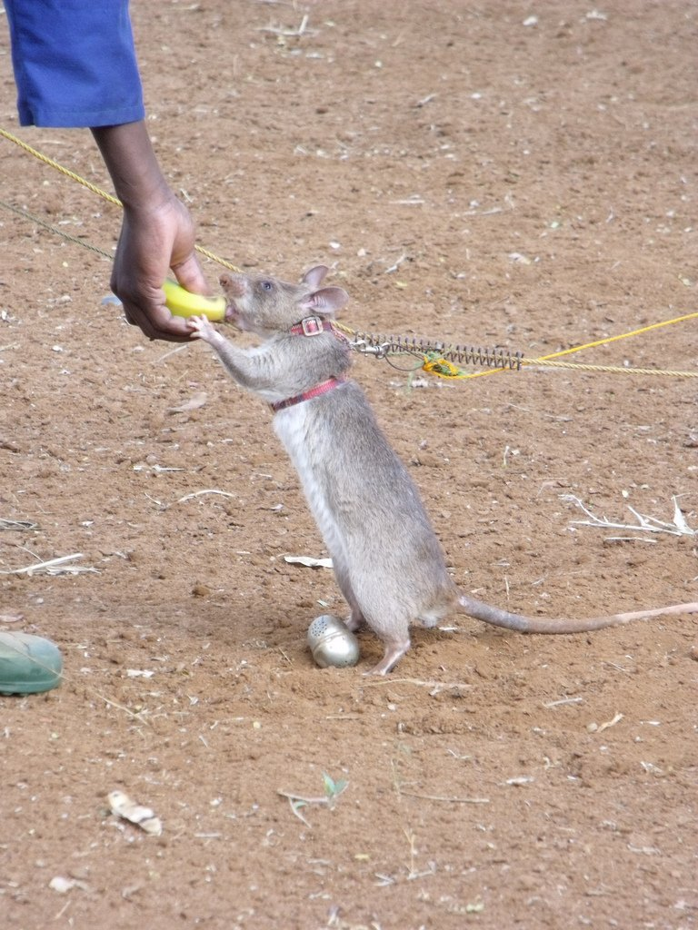 APOPO HeroRat tea egg training. Photo © Flickr rattyfied