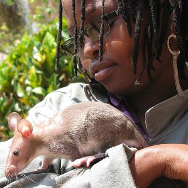 APOPO trains rats to save lives by detecting landmines and tuberculosis in six countries in Africa and Asia. Photo © Flickr - Dr Motte