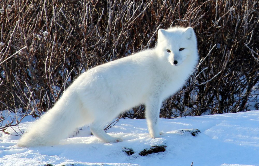 Arctic fox. Photo: Emma, Wikimedia Commons