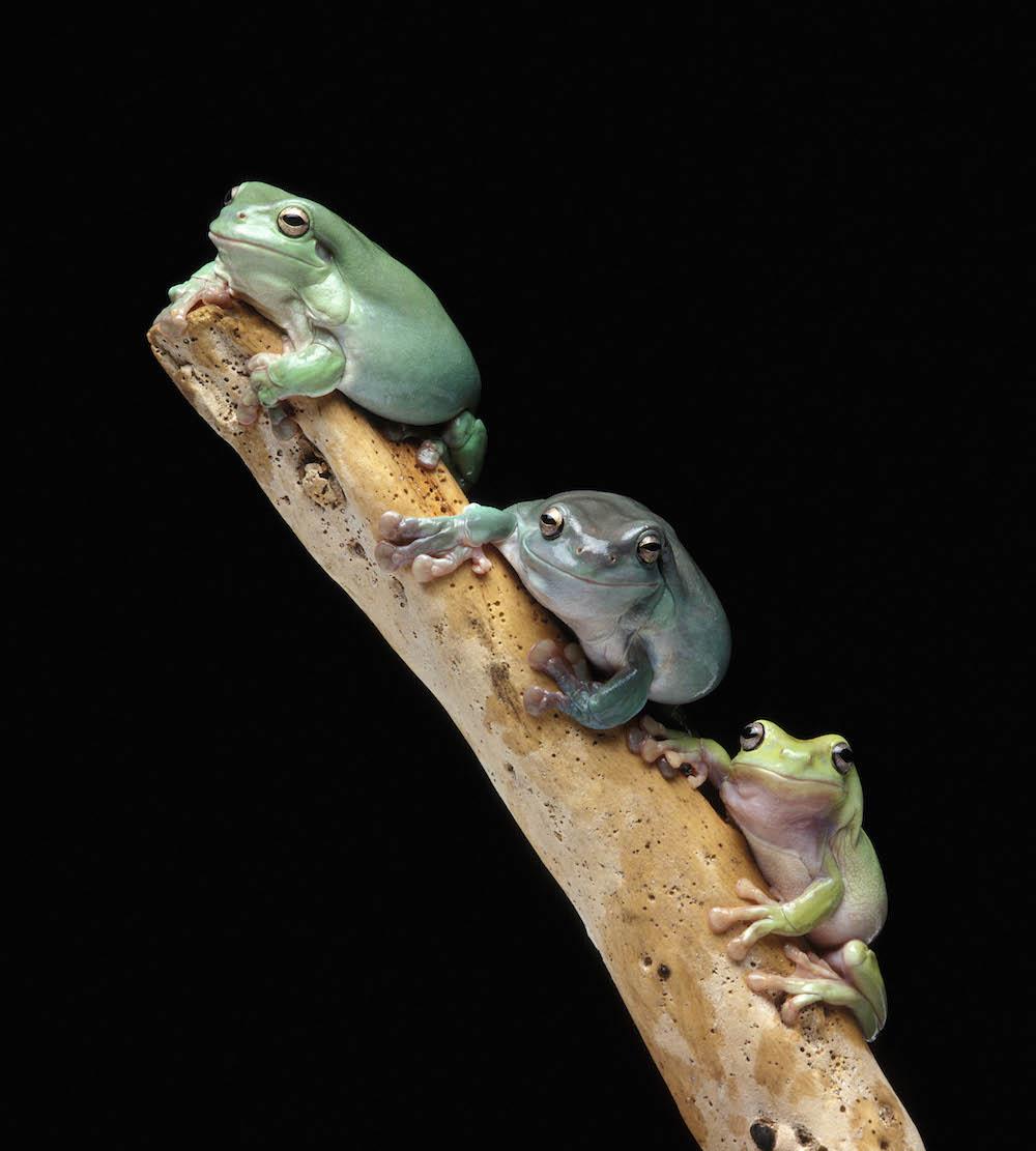 Australian Green Tree Frogs (Litoria caerulea). Photo Animal Ark
