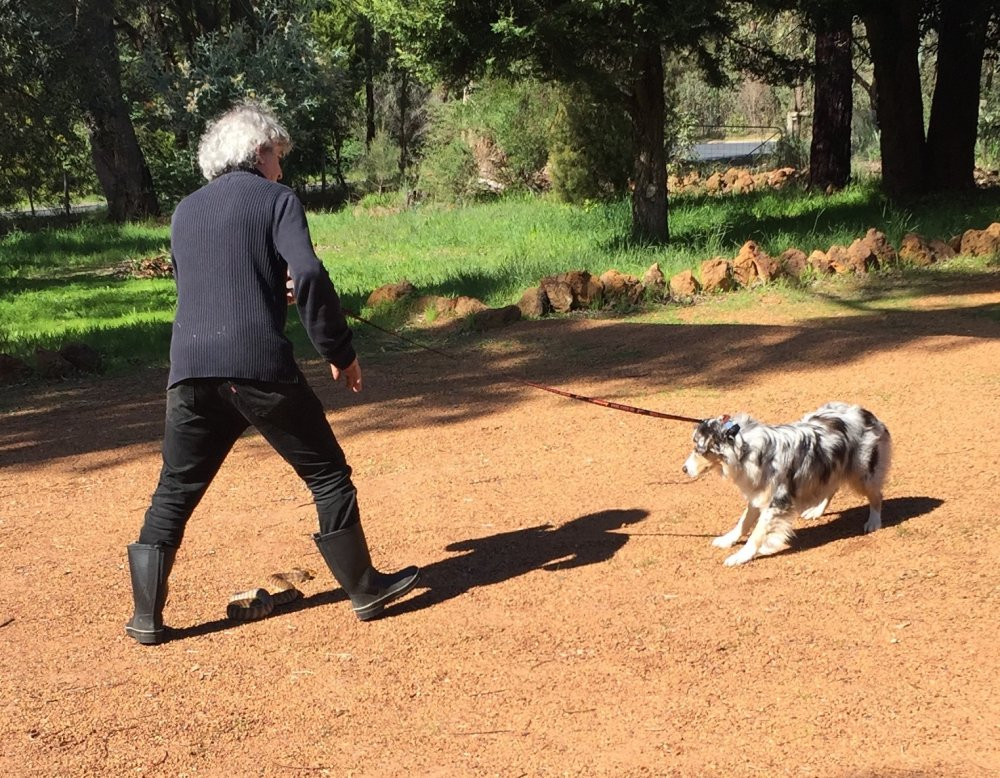 Australian shepherd refresher - Snake Avoidance Training. Photo: Animal Ark