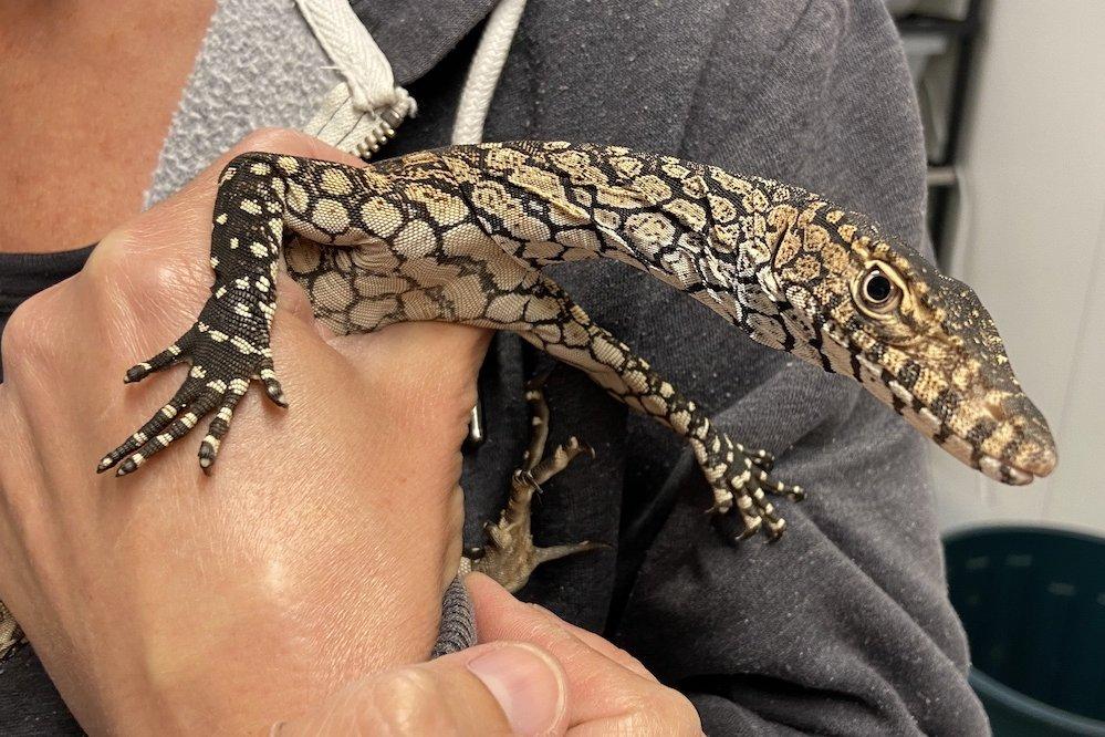 Baby perentie in hand. Photo Animal Ark