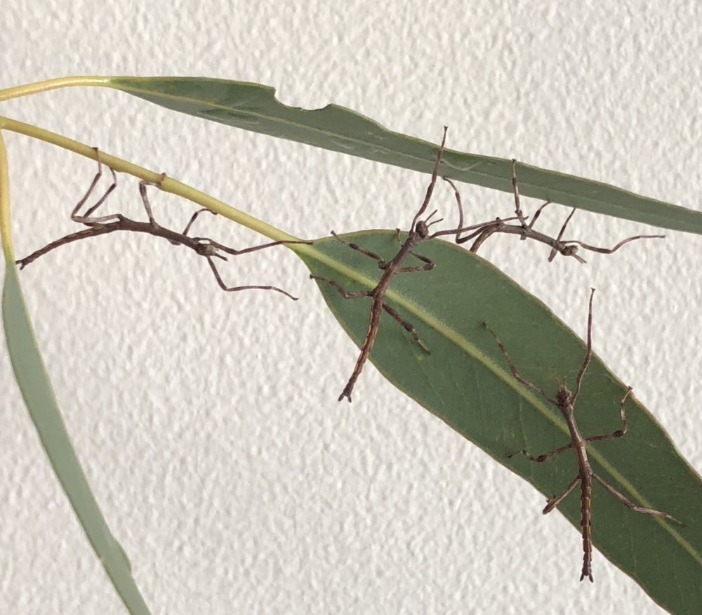 Baby stick insects. Photo: Animal Ark
