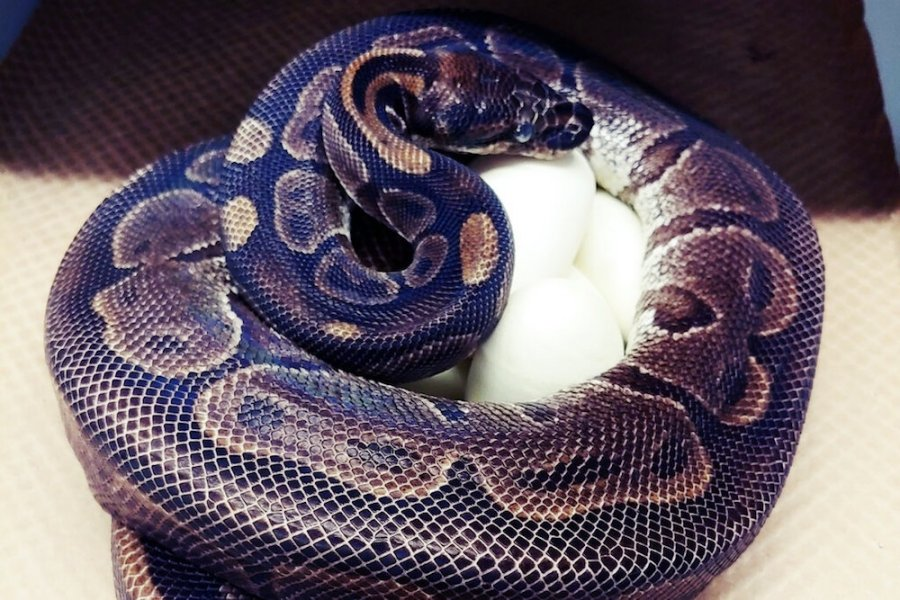 Ball or Royal python (Python regis) aged 62 coiled around eggs. Photo Chawna Schuette St Louis zoo