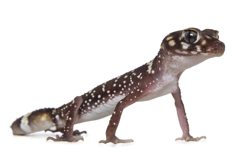 Barking gecko. Photo Houndstooth Studio Animal Ark