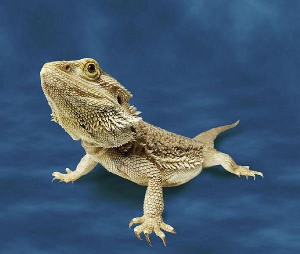 Bearded Dragon lizard (Pogona vitticeps) © Animal Ark