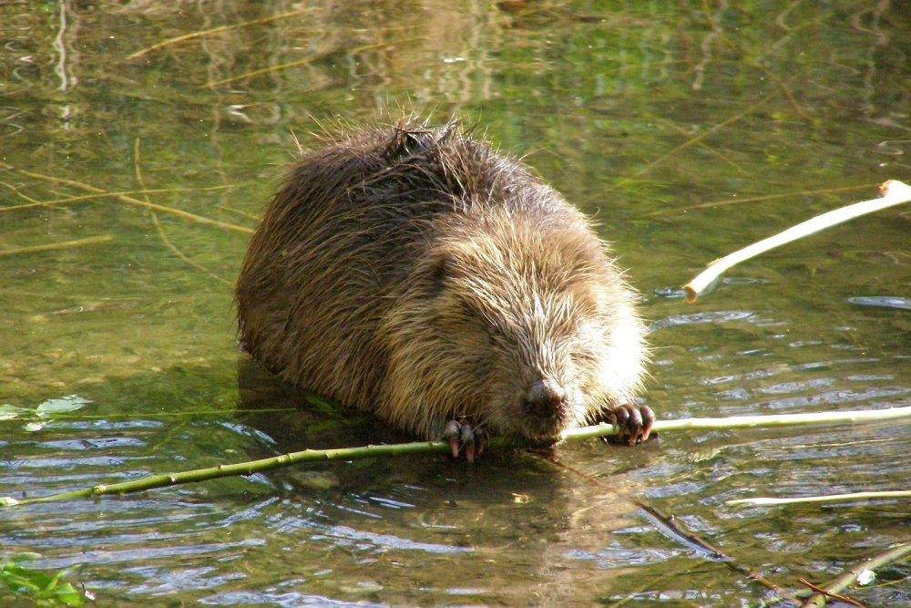 Beaver (Castor fiber). Photo: Martina Lion, Wikimedia Commons