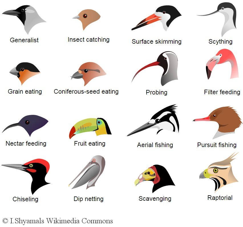 Bird beak adaptations. L.Shyamal, Wikimedia Commons