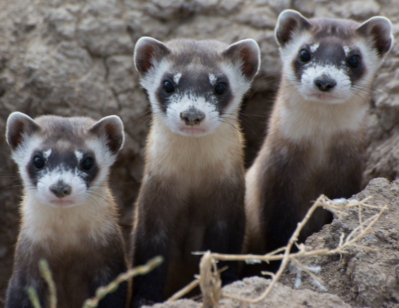 Black footed ferrets. Photo: Kimberly Fraser, USFWS