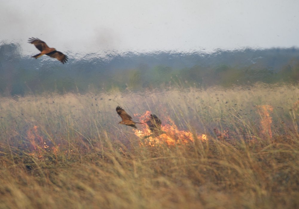 Black kites swooping around a fire that observations suggest they may well have started themselves. Photo: Bob Gosford